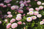 Daisy, Bellis perennis Tasso series. Pink double flower heads of perennial daisy carpeting area in public garden.