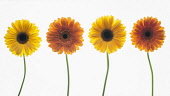 Gerbera cultivar. Four individual flower stems in shades of yellow and orange arranged in a row and photographed on a lightbox.