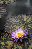 Water lily, Nymphaea Foxfire. Large, single flower with purple petals and orange centre and mottled bronze and green leaves.