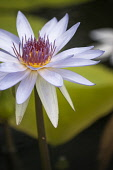 Water lily, Nymphaea Lone Star. Single flower with white petals and pink and deep yellow centre.