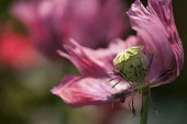 Poppy, Papaver somniferum. Fading flower with petals and stamens falling away from central ripening seed head.