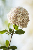 Viburnum burkwoodii. Rounded flower head of tubular, pale pink flowers on woody stem with oval, green leaves.