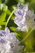 Common Water Hyacinth, Eichornia crassipes. Spikes of pale blue flowers of water plant considered invasive outside native habitat.