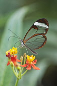 Glass winged butterfly, Greta Oto feeding on Bloodflower, Asclepias curassavica. This butterfly is so called because its wings lack coloured scales and give the impression of glass.