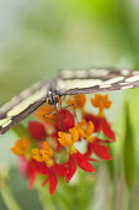 Butterfly feeding on Bloodflower, Asclepias curassavica.