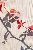 Virginia creeper, Parthenocissus quinquefolia. Stem and leaves casting shadow over wood with vertical pattern of grain.