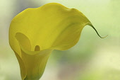 Calla lily. Single funnel shaped flower with yellow spathe and spadix.