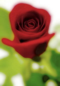 Red Rose close up.