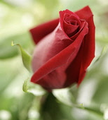 Royal William Red Rose close up of bud beginning to open.