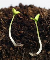 Young seedlings growing in soil.