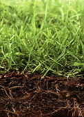 Grass, section through ground showing plant growing above and below the soil.