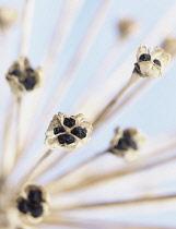 Allium close up showing pattern.