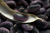 Runner bean, Phaseolus coccineus. Shelled beans of mottled black and purple colour with open, drying pod containing single bean lying on top.