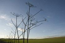 Hogweed, Heracleum sphondylium. Drying, skeletal stems of Hogweed silhouetted against pale blue sky.