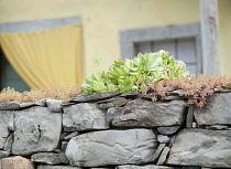 Houseleek, Sempervivum tectorum. Rosette of pointed, fleshy leaves growing with other varieties on grey, stone wall. Exterior of house part seen behind.