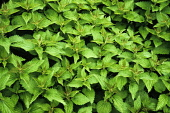 Nettle, Urtica dioica. Clump of fresh, green, Common or Stinging nettles, filling camera frame.