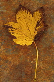 Sycamore, Acer pseudoplatanus. Studio shot of yellow autumn leaf, coloured brown at edges, lying on rusty metal sheet.