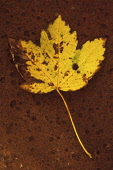 Sycamore, Acer pseudoplatanus. Studio shot of yellow, autumn leaf turning and spotted brown, lying on rusty metal sheet.