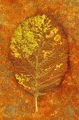 Whitebeam, Sorbus aria. Studio shot of green leaf, turning brown  lying on rusty metal sheet.