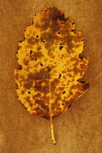 Whitebeam, Sorbus x intermedia. Studio shot of yellow and brown autumn leaf of Swedish whitebeam lying on rough, yellow background. Front view.
