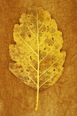 Whitebeam, Sorbus x intermedia. Studio shot of yellow and brown autumn leaf of Swedish whitebeam lying on rough, yellow  background. Back view.