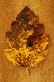 Whitebeam, Sorbus x intermedia. Studio shot of yellow and brown autumn leaf of Swedish whitebeam lying on rough, yellow background.