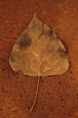 Black poplar, Populus nigra. Studio shot of brown and splitting autumn leaf lying on rusty metal sheet.