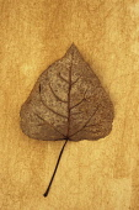 Black poplar, Populus nigra. Studio shot of mottled brown autumn leaf lying on rough, yellow background.