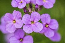 Sweet rocket, Hesperis matronalis, close view of flower spike of four petalled pale purple flowers.