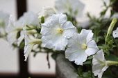 Petunia, large, white, trumpet shaped flowers scattered with raindrops.