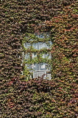 Boston ivy, Parthenocissus tricuspidata growing  across a dilapidated window and air conditioning unit on a New York apartment block.