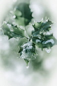 Holly, Ilex aquifolium leaves with melting snow against a faded soft background.