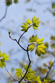 Sycamore, Acer pseudoplatanus, Close up of leaves on the tree growing outdoor.