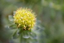 Rose root, Rhodiola rosea, used in herbal medicine. Close up of single flower head, selective focus.