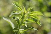 Sweet leaf, Stevia rebaudiana, a natural sweetener. Close up showing serrated leaves.
