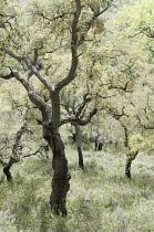 Corkoak, Quercus suber.
