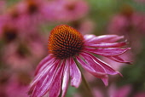 Echinacea, Purple coneflower, Echinacea purpurea.