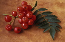 Rowan, Sorbus aucuparia.