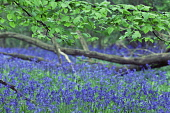 Bluebell Wood, Hyacinthoides non-scripta.