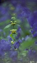 Yellowdeadnettle, Lamium gaieobdolon.
