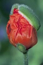 Poppy, Oriental poppy, Papaver orientale.