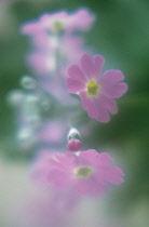 Primula, Primrose, Primula frondosa.