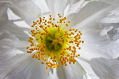 Anemone, Tree anemone, Carpenteria californica.