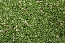 Clover, white clover, Trifolium repens.