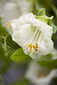 Cup and Saucer, Cobaea scandens.