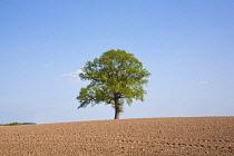 Oak, Quercus robur.