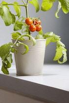 Tomato, Lycopersicon esculentum 'Gardeners Delight'.