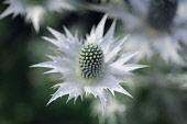 Sea holly, known as Miss Wilmott's ghost, Eryngium giganteum, single silvery flower showing central cone and spikey skirt or bract.