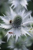 Sea holly, known as Miss Wilmott's ghost, Eryngium giganteum, single silvery flower showing central cone and spikey skirt or bract. A bee and other insects are feeding on the nectar.
