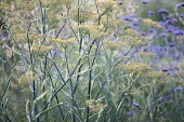 Bronze fennel, Foeniculum vulgare 'Purpureum', mustard yellow flowers on tall blue green stalks, combined planting with Brazilian verbena, Verbena bonariensis.